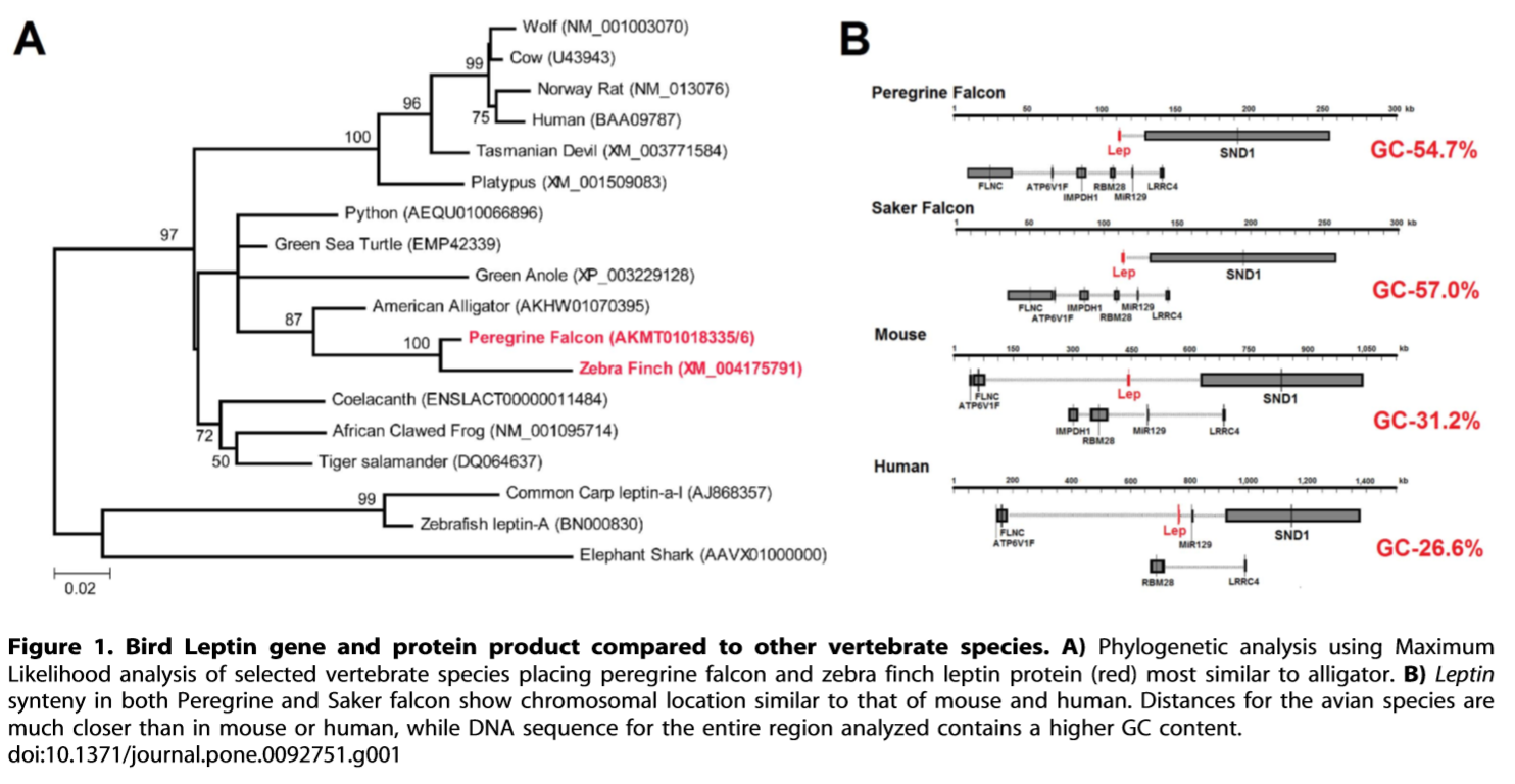 Mapping the bird leptin gene and its human synteny